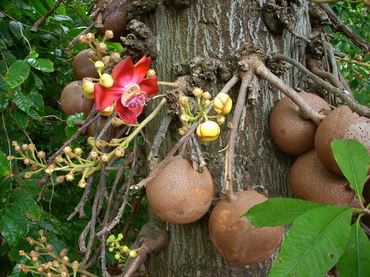 Couroupita guianensis - Cannonball Tree (Couroupita guianensis - Cannonball Tree)