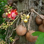 Couroupita guianensis - Cannonball Tree (Couroupita guianensis - Cannonball Tree)