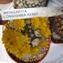 Wiengartia_longigibba_kk867