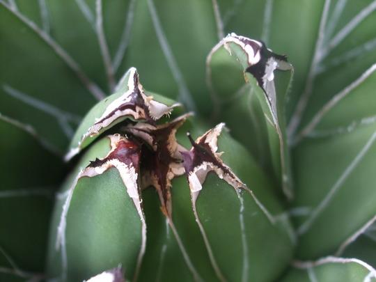 AGAVE VICTORIAE REGINAE (Agave victoriae-reginae (Century plant))