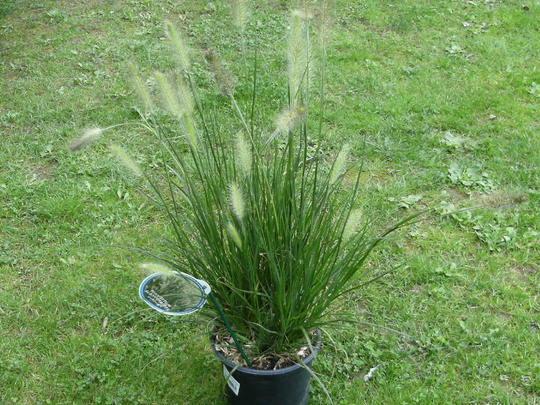 Grass ' hameln' (Pennisetum alopecuroides (Chinese Fountain Grass))