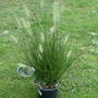 Pennisetum alopecuroides (Chinese Fountain Grass)