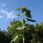 Sunflowers_aug_15_002