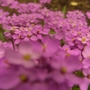 Colourful candytuft