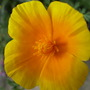 welsh poppy - 2nd year