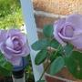 Blue lady (tea rose)