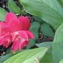 pink pretty (rose)