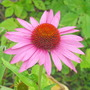 coneflower (Echinacea purpurea (Coneflower))