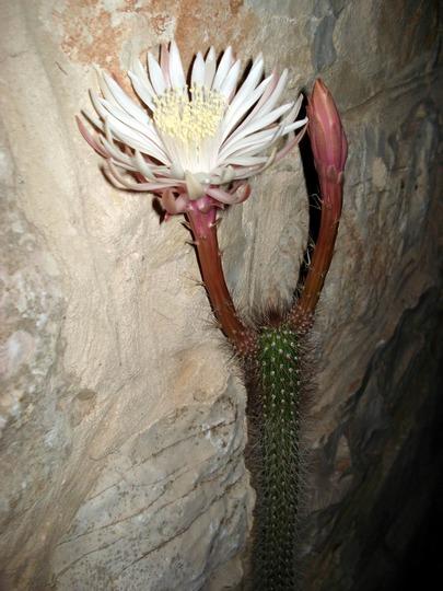 my cactus flowering