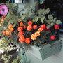 Marigolds_4_