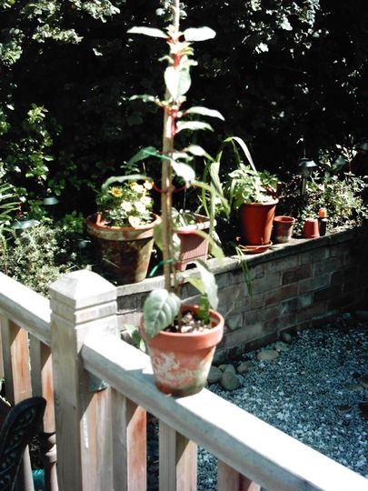 growing a half standard fuchsia