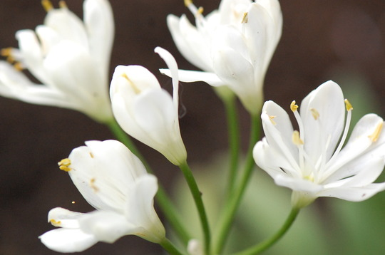 Agapanthus 'Snowball' (Agapanthus)