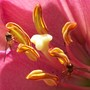 pink lily & hoverflies (lily)