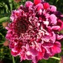 Pink Pin Cushion Scabious