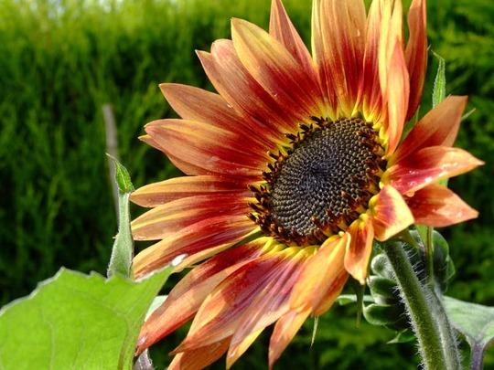 Do sunflowers go rusty in the rain? (Helianthus annuus (Sunflower))