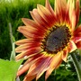 Do sunflowers go rusty in the rain? (Helianthus annuus (Sunflower))