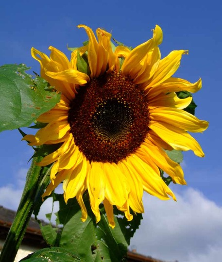 Giant sunflower (Helianthus annuus (Sunflower))