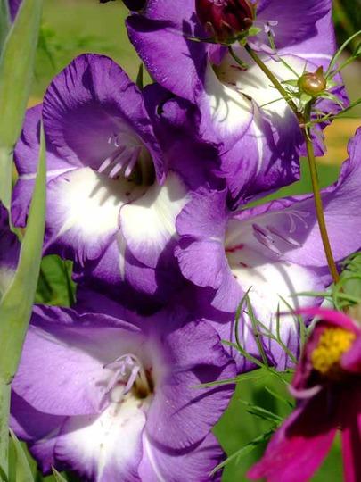 Purple Gladiola (gladiolus)