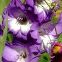 Purple Gladiola (gladiolus)