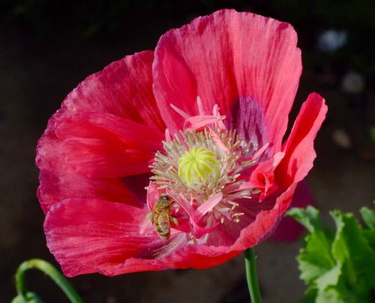 Coral pink opium poppy (Papaver somniferum (Opium poppy))