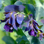 Cerinthe Major Purpurascens (Cerinthe major (Honeywort))