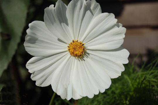 White_Cosmos.jpg
