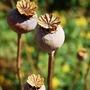 Poppy_seed_heads.jpg