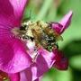 Bee_covered_in_pollen.jpg