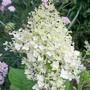 Hydranea paniculata (Hydrangea paniculata (Hydrangea))