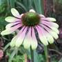 side view... E. 'Green Envy' (Echinacea)