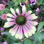 Green Envy.... (Echinacea)