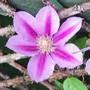 Clematis 'Bees Jubilee' (Clematis)