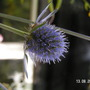 Eryngium planum (Sea Holly)