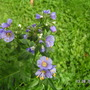 Polemonium_coeruleum_bambino_blue