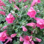 Scutellaria 'Texas Rose' (Scutellaria)