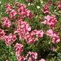 Diascia_in_full_bloom