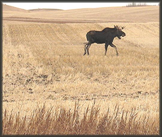 Feilds of Moose