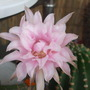 Echinopsis_new_dawn_hybrid_2_