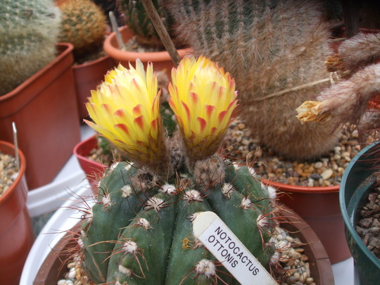 notocactus ottonis (notocactus ottonis)