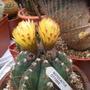 Notocactus_ottonis