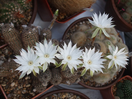 pygmaecereus bylesianus (pygmaecereus bylesianus)