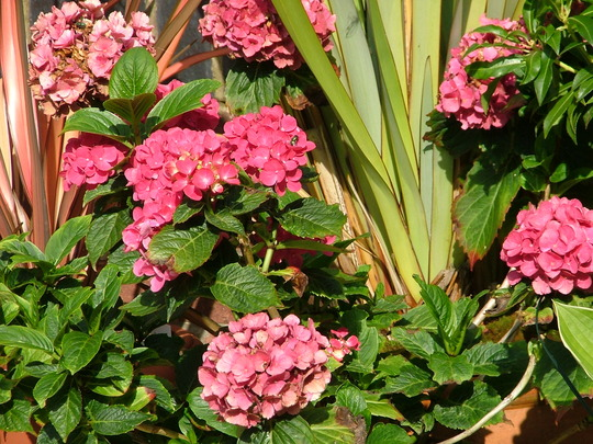hydrangea with phormium in the back