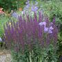 Salvia superba (Salvia superba (Salvia))