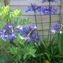 Agapanthus~these ones have been open for ages!