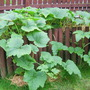 The pumpkin vines