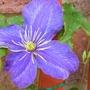 Etoile_violette_clematis