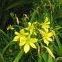 Hemerocallis_citrina_flowers.jpg