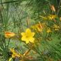 Hemerocallis__Golden_Chimes__flowers.jpg