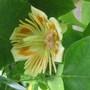 Liriodendron_tulipifera_flower.jpg