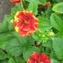Potentilla__Gloire_de_Nancy__flower.jpg
